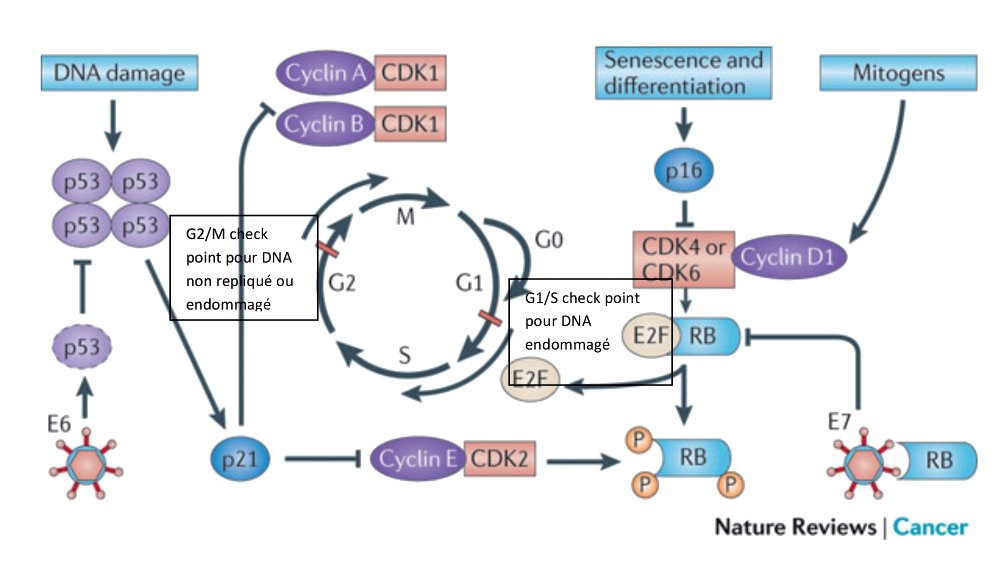 papillomavirus humain genitaux potentiellement oncogenes